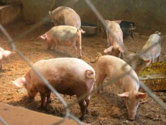 piggery project 2a